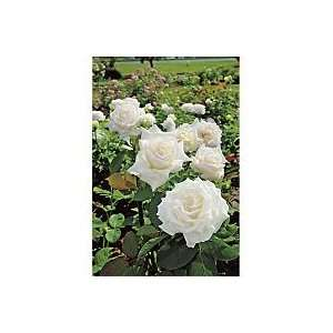 Pope John Paul II Hybrid Tea Rose: Kitchen & Dining