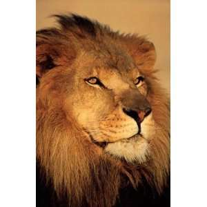 LION CLOSE UP WILD LIFE AFRICA 24X36 POSTER #PP30897