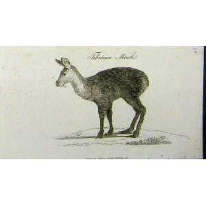 Johnson Natural History Print Tibetian Musk Animal