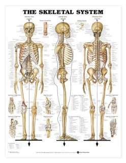 Giant Skeletal System Chart, Skeleton Charts Anatomical