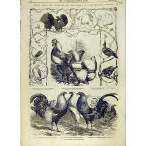 Poultry Pigeons Birds Game Fowls Chickens Print 1853: Home