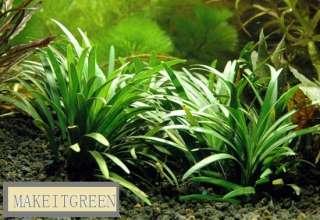 Live AQUARIUM PLANT FISH Ophiopogon Japonica Grass TANK
