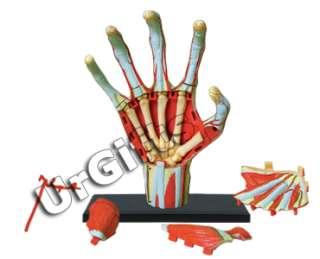 4D Puzzle Human Anatomy Series 3D Model 28 pcs Hand